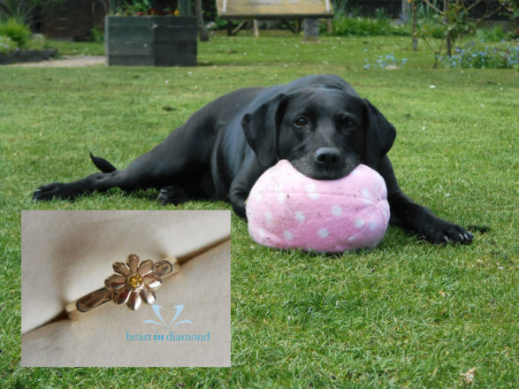 black dog playfully holding a pink ball with his mouth. diamond ring made from his ashes on the foreground
